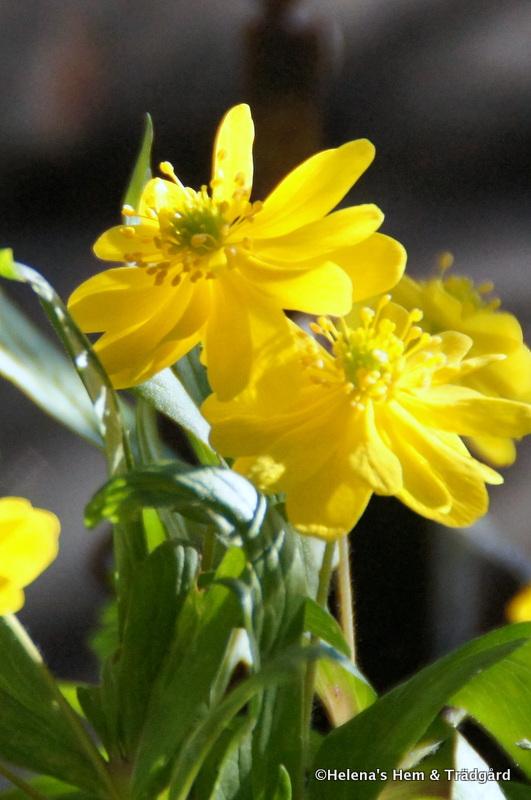 Anemone ranunculoides semiplena